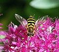 Hoverfly (9966431093).jpg