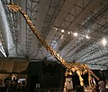 Huabeisaurus in Japan.jpg