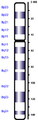 Human chromosome 08 from Hemabase database.png