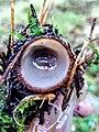Humaria hemisphaerica 95761277.jpg
