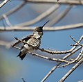 Hummingbird Black-chinned, Male.jpg