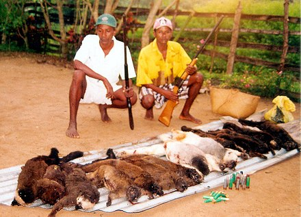 Humans are known to hunt other primates for food, so-called bushmeat. Pictured are two men who have killed a number of silky sifaka and white-headed brown lemurs. Hunted Silky Sifakas.jpg