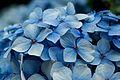 Hydrangea macrophylla petals - cropped.jpg