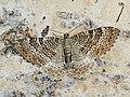 Hydria undulata - Scallop shell - Волнистая пяденица светлая (40951252771).jpg