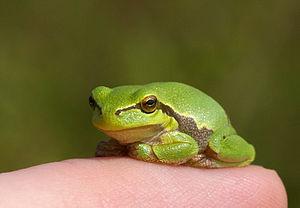 European tree frog - Image: Hyla arborea, juv 2