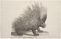 Hystrix cristata - 1700-1880 - Print - Iconographia Zoologica - Special Collections University of Amsterdam - UBA01 IZ20600041.tif