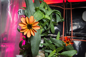 ISS-46 Zinnia flower in the Veggie facility.jpg