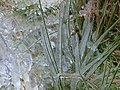 Ice Covered Grass - geograph.org.uk - 98849.jpg