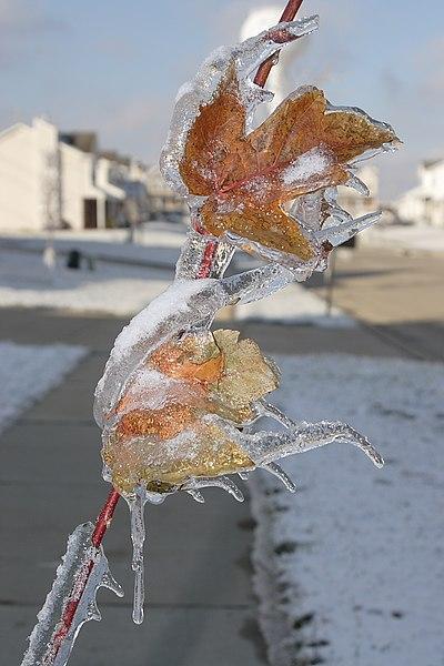 Carámbanos en hojas de árbol, tras una tormenta helada. Obsérvense los carámbanos creados con diferentes ángulos. Esto ocurre por el peso cada vez mayor de la rama del árbol.