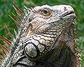 Iguana Costa Rica.jpg