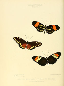 Illustrations of new species of exotic butterflies Heliconia II.jpg