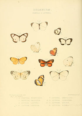 Illustrations of new species of exotic butterflies Pentila & Liptena.jpg