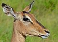 Impala (Aepyceros melampus) female close-up (14028461906).jpg