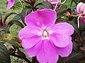 Impatiens walleriana-csi church-yercaud-salem-India.JPG