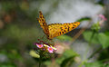 Indian Fritillary with Bokeh.jpg