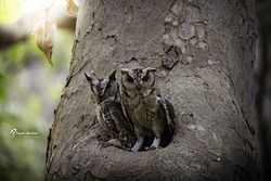 Indian Scops Owl.jpg
