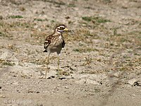 Indian Stone-curlew, Bharatpur, Rajasthan, India I IMG 8699