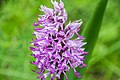Inflorescence of Orchis simia 14.jpg