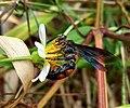 Insect on Bidens flower.jpg