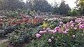 Int. Rose Test Garden, PDX, 2017 - 8.jpg