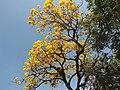 Ipê Amarelo. - panoramio.jpg