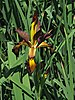 Iris spuria 'Cinnabar Red' (1999-352-B) Flower and Leaves.JPG