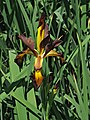 Iris spuria 'Cinnabar Red' (1999-352-B) Flower and Leaves.JPG