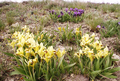 Irises in Volgograd Oblast.png