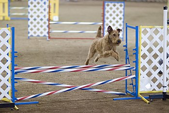 An Irish Terrier in an agility competition.