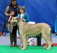 Irish wolfhound and junior handler Narva CACIB 2014.JPG