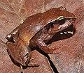 Ischnocnema sp. 1 (group parva) IRDias 2014 (cropped).jpg