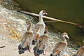 Israel. Egyptian Goose (15417160171).jpg
