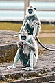 It's eating time- Black faced langur Monkeys.jpg