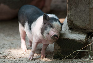 A young Pot-bellied pig at Southwick's zoo scr...