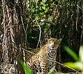 Jaguar (Panthera onca) female ... (other female hidden behind tree on the left) (48705480666).jpg
