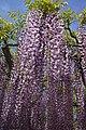 Japanese wisteria, Ashikaga Flower Park 3.jpg