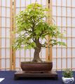 Japanischer Fächerahorn Bonsai ca. 25 Jahre.png