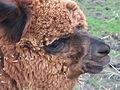 Jesmond Dene Pet Alpacas 1133.JPG