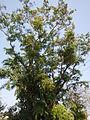 Jf9408Pterocarpus indicus Lubaofvf 04.JPG