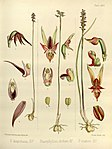 Joseph Dalton Hooker - Flora Antarctica - vol. 3 pt. 2 plate 113 (1860).jpg