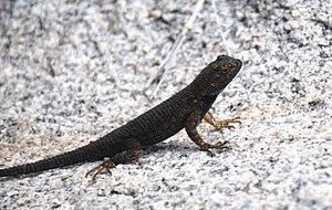 Sceloporus occidentalis longipes - Image: Joshua Tree National Park Great Basin fence lizard 03