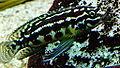 Julidochromis marlieri - Aqua porte dorée 09.JPG