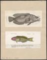 Julis pavo - 1700-1880 - Print - Iconographia Zoologica - Special Collections University of Amsterdam - UBA01 IZ13900112.tif