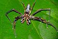 Jumping Spider (Bathippus sp.) male (23051242663).jpg