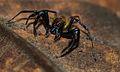 Jumping Spider (Salticidae) (8729274530).jpg