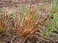 Juncus bufonius plant (01).jpg