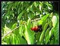June Flower ^ Cherry Farming Endingen Kaiserstuhl - Master Seasons Rhine Valley Photography 2013 - panoramio (30).jpg