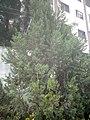 Juniperus chinensis at Akola, India8.jpg