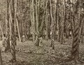 KITLV - 79938 - Kleingrothe, C.J. - Medan - Tapping of twelve- and fifteen-year-old rubber trees at a plantation in Malaysia - circa 1910.tif