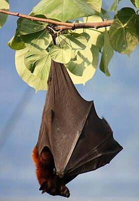 Kalong-Flughund (Pteropus vampyrus)